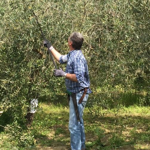 olive potatura