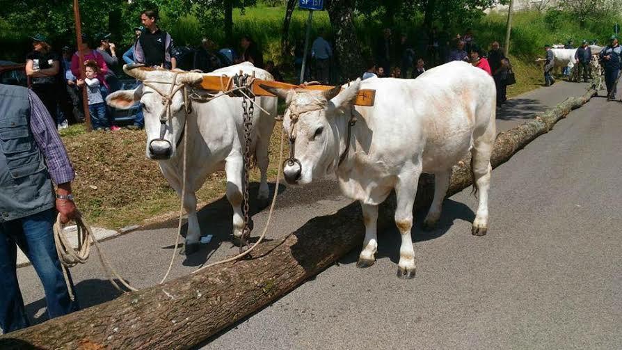 maggio pastena mucche
